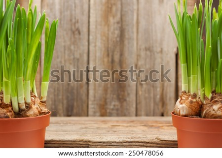 flowers daffodils bulbs buds pots two spring gardening background - stock photo