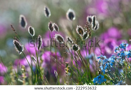 flowers forget me note on a mountain summer meadow - stock photo