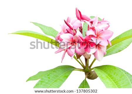 flowers frangipani isolated - stock photo