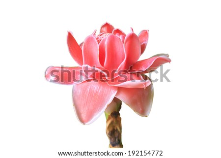 flowers from Thailand, Etlingera Elatior or Red Torch Ginger on white background