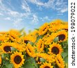flowers garden with sunflowers and marigold on blue sky background - stock photo