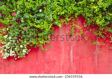 Flowers & green ivy plant on old colored concrete wall - stock photo