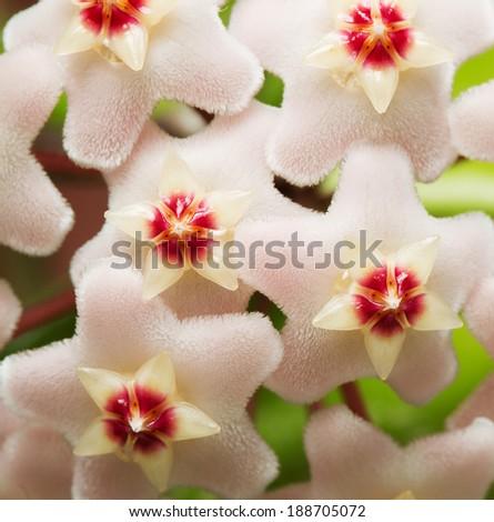 Flowers Hoya  Carnosa. Home plant. - stock photo
