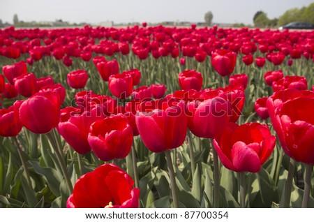 Flowers in a flower field in Holland - stock photo