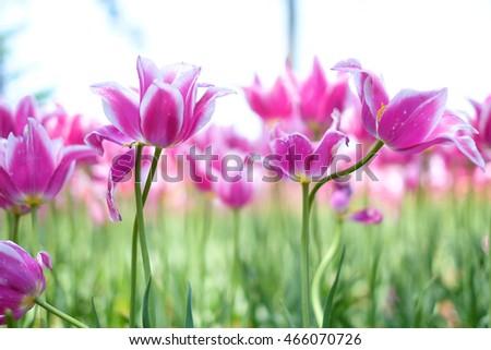 Beautiful Lotus Flower Blooming Sunset Stock Photo