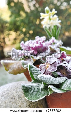 flowers in pots covered with frost - stock photo