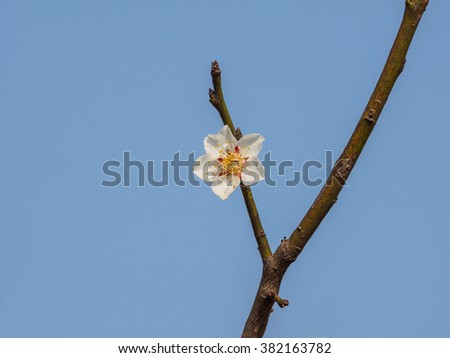 Flowers in spring series: plum blossoms in spring against blue sky background