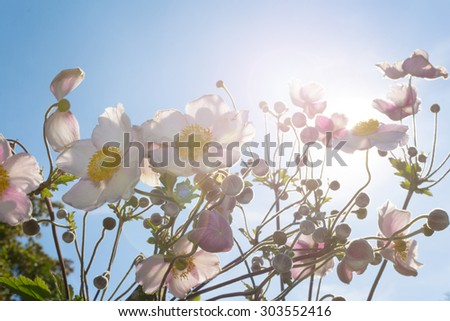 flowers in sunlight with blue sky - lans flare, light effect, soft focus