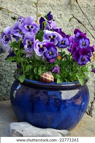 Flowers in the ceramic pot (violet pansy) - stock photo