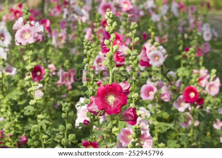 Flowers in the garden,Flowers Holly Hock (Hollyhock) pink closeup - stock photo