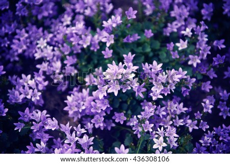 Flowers lilac bells nature background. Flowers background with purple campanula flowers - stock photo