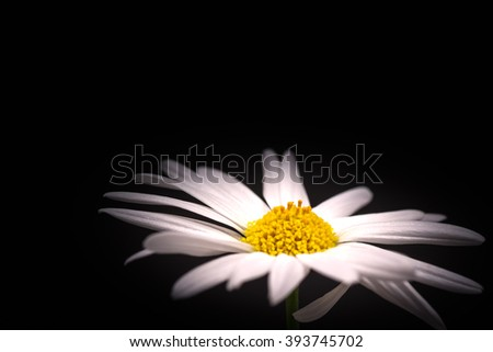 Flowers, Margaret, close-up, macro. - stock photo