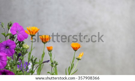 Flowers marigold and petunias against the backdrop of a concrete wall. - stock photo