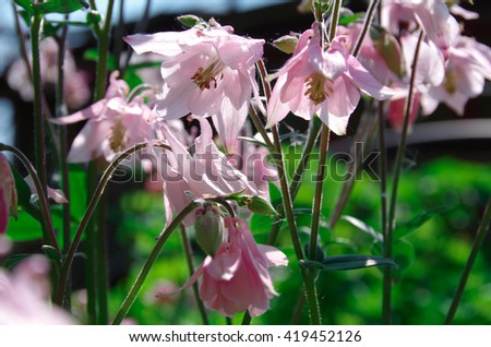 flowers,nature,garden,flora,campanula,plant,bloom,beautiful,park,outside,colorful, - stock photo