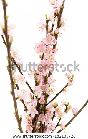 Flowers of a branch of an apricot