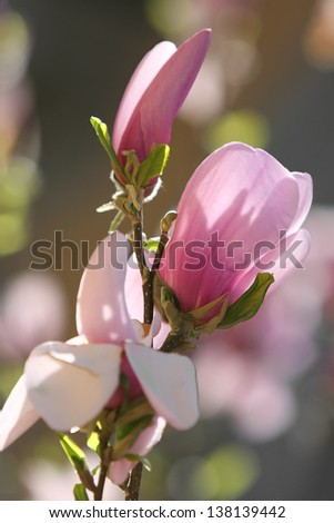 Flowers of a pink magnolia in the spring. Large beautiful buds in a sunlight. Blossoming gardens. - stock photo