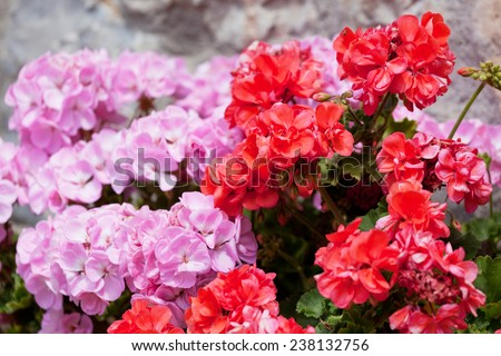 Flowers of a red and pink geranium close up - stock photo