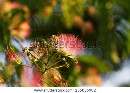 Flowers of acacia - close up photo ( Albizzia julibrissin ) - stock photo