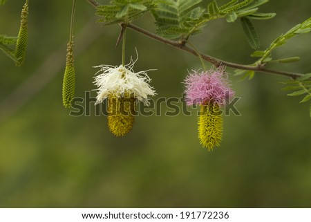 flowers of acacia tree - stock photo