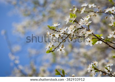 Flowers of blooming cherry on a branch.