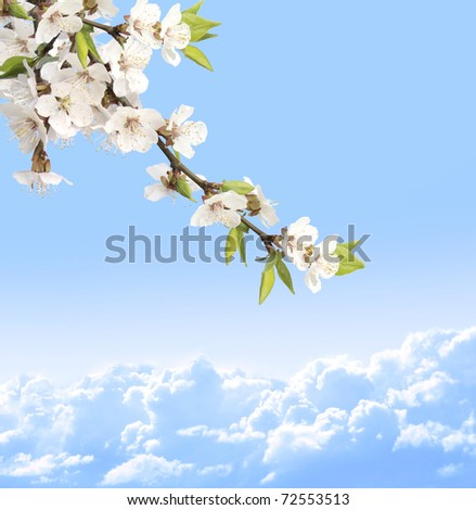Flowers of cherry and blue sky - stock photo