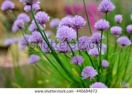 Flowers of chive in a garden - stock photo