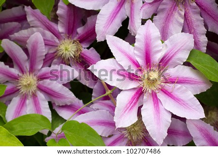 Flowers of clematis over green background - stock photo