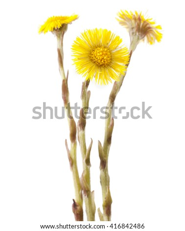 Flowers of coltsfoot (Tussilago farfara) on white background. - stock photo