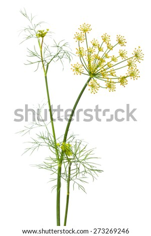 flowers of dill on white background - stock photo