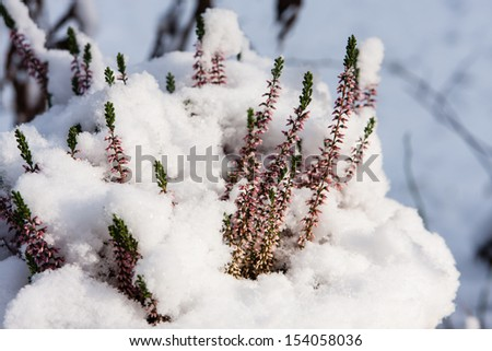 Flowers of erica with snow - stock photo