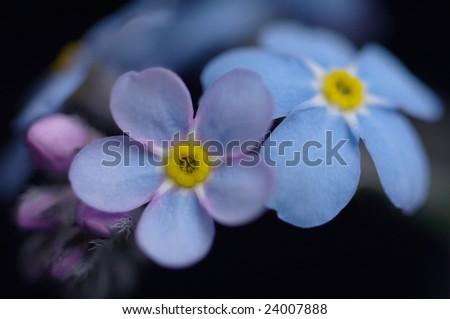 Flowers of forget-me-not  background macro - stock photo