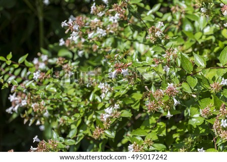 Flowers of Glossy abelia, Abelia x grandiflora. It is a hybrid, raised by hybridising Abelia chinensis with Abelia uniflora