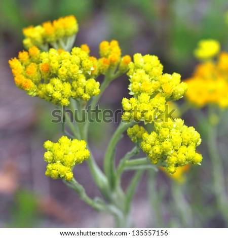 Flowers of helichrysum arenarium closeup - stock photo