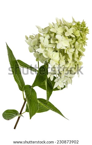 Flowers of hydrangeas paniculata, lat.Hydrangea paniculata, isolated on white background - stock photo