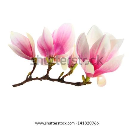 flowers of magnolia - stock photo