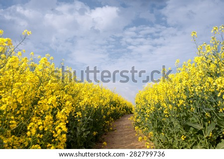 flowers of oil in rapeseed field with blue sky and clouds  - stock photo