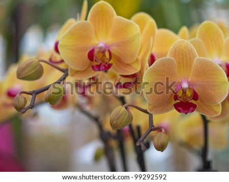 Flowers of orange orchid