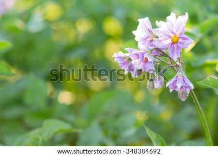 Flowers of potato plant against green blurred background of field with copy space - stock photo