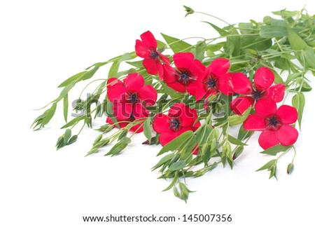 Flowers of red flax with buds and herbs isolated on white background