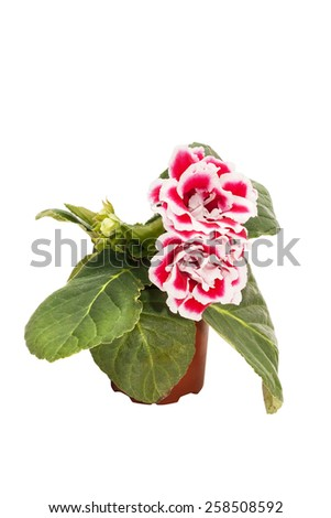 Flowers of red gloxinia (Sinningia) in a brown pot isolated on white background close-up - stock photo