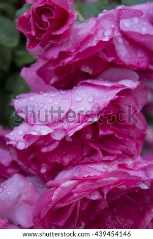 flowers of rozes with waterdrops after rain   - stock photo