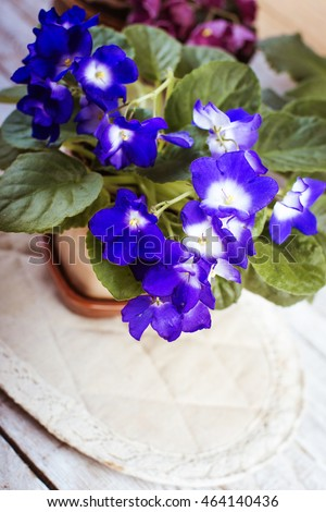 Flowers of Saintpaulia African Violet houseplant