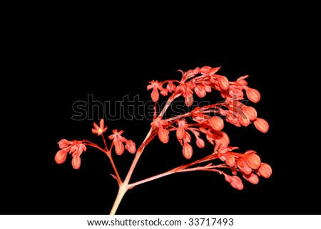 flowers of Scarlet Glorybower - stock photo