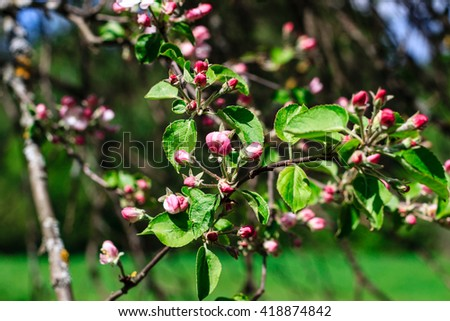 Flowers apple blossoms spring season may stock photo royalty free flowers of the apple blossoms at spring season may mightylinksfo