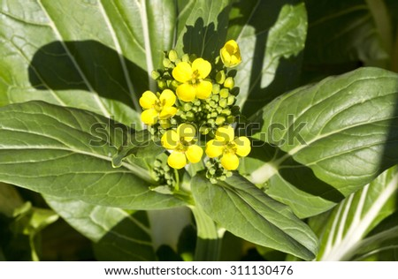 Flowers of the Bok Choy (Brassica rapa subsp. Chinensis) Chinese cabbage - stock photo