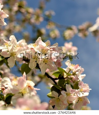 Flowers of the cherry blossoms  - stock photo