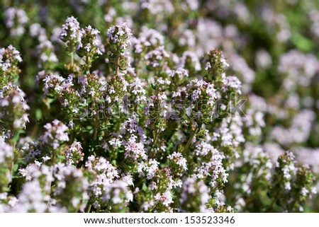 flowers of Thymus vulgaris - stock photo