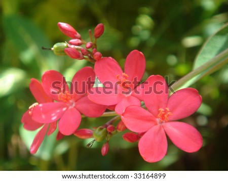 flowers of tropical red begonia on green background