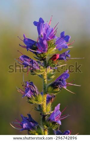 Flowers of Viper's Bugloss (Echium vulgare). Closeup - stock photo