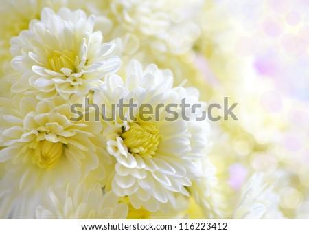 Flowers of white chrysanthemum under the sun light, with beautiful bokeh - stock photo